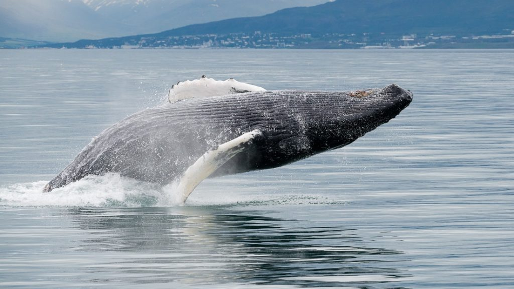 whale watching akureyri, whales in Iceland
