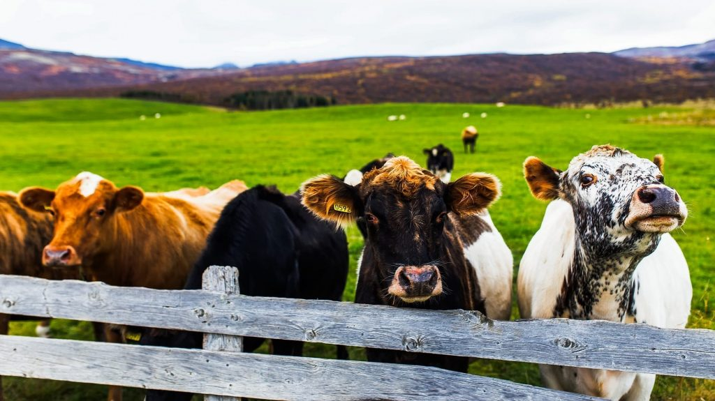 cows on a farm in Iceland