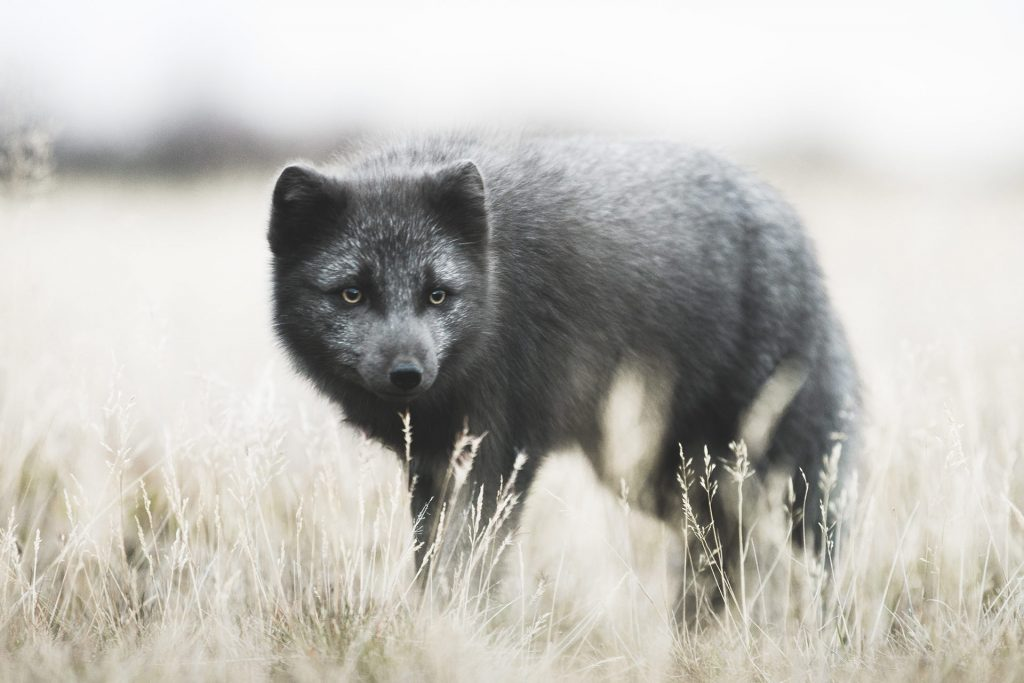 the arctic fox on fimmvorduhals hiking trail