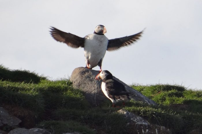Puffins in Snæfellsnes